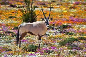Un Oryx dans le Namaqualand.