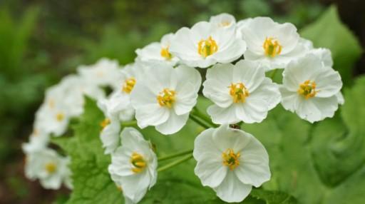 diphylleia-grayi-fleur-petale-transparente-eau-4